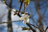 Cherry blossom in the Eggen valley - April 2020